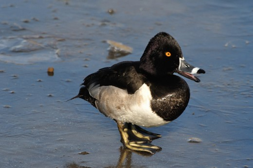 Ring-necked Duck (m)