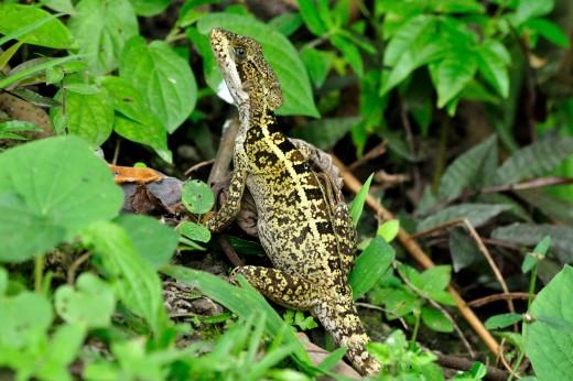 Basilisk Lizard (female)