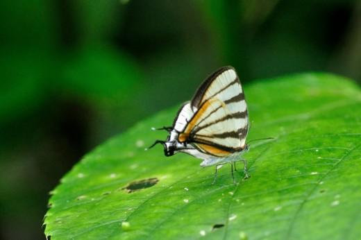 Chiapas Stripe-streak (Arawacus togarna)