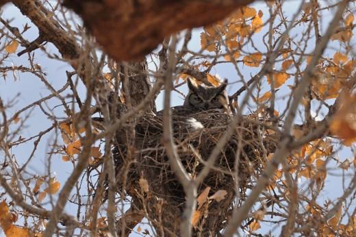 Great Horned Owl - Alameda OS