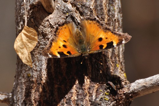 California Tortoiseshell (Nymphalis californica)
