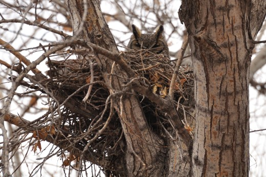 Great Horned Owl - RGV State Park