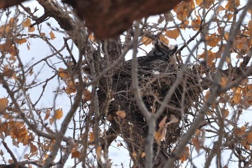 Great Horned Owl - Alameda