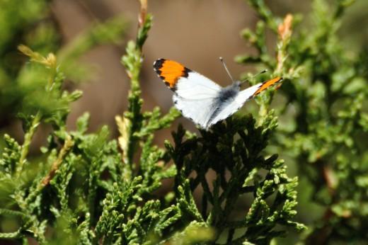Southwestern Orangetip (Anthocharis thoosa)