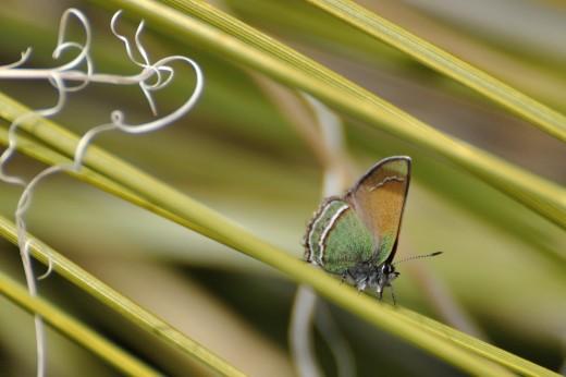 Sandia Hairstreak (Callophrys mcfarlandii)