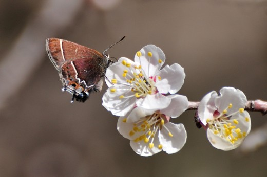 Thicket Hairstreak (Callophrys spinetorum)