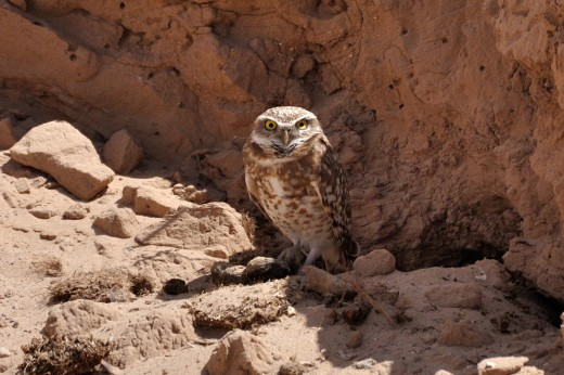 Burrowing Owl - Black Arroyo