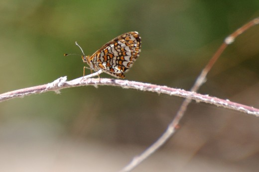 Sagebrush Checkerspot (Chlosyne acastus)