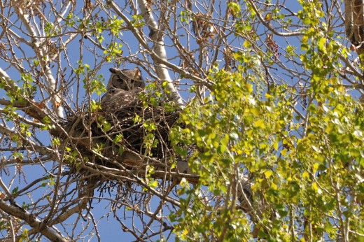 Great Horned Owl - female
