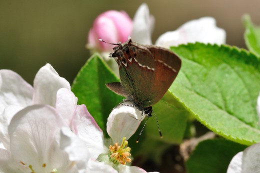 'Siva' Juniper Hairstreak (Callophrys gryneus)