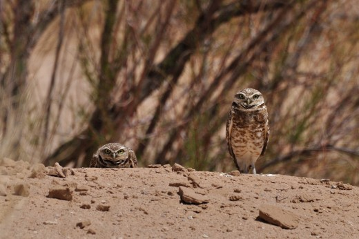 Burrowing Owl - Richland Hills