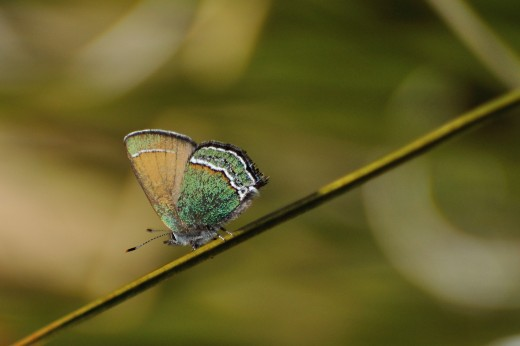 Sandia Hairstreak (Callophrys mcfarlandi)