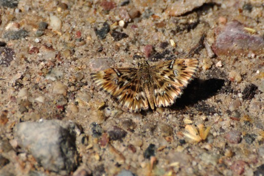 Common Streaky-Skipper (Celotes nessus)