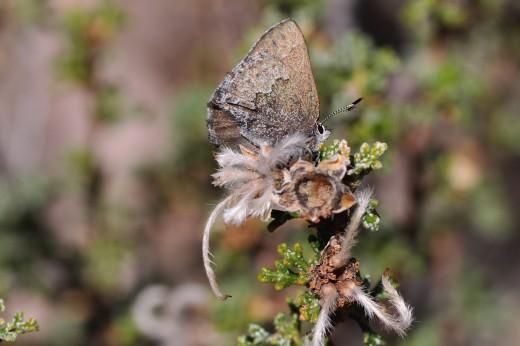 Desert Elfin (Callophrys fotis)