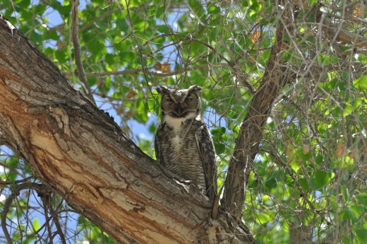 Great Horned Owl (Tingley)