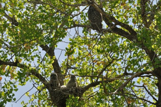 Great Horned Owls (Alameda)