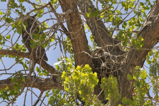 Great Horned Owls (Montano)