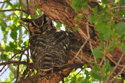 Watchful Adult Great Horned Owl (Montano)