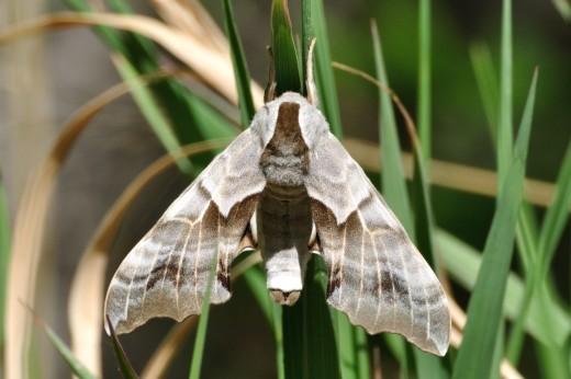 Spotted Apatelodes Moth (Apatelodes torrefacta)