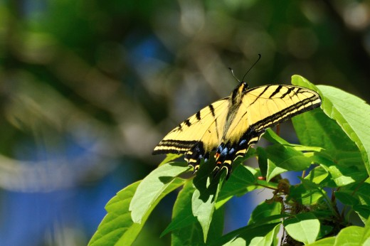 Two-tailed Swallowtail (Papilio multicaudata)