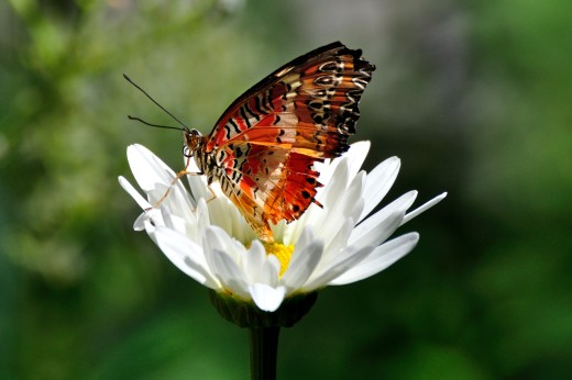 Malay Lacewing (Cethosia hypsea)