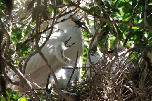 Immature Snowy Egret