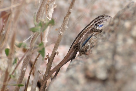 Plains Lizard
