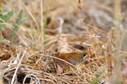 Female Taxiles Skipper (Poanes taxiles)