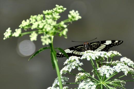 Weidemeyer's Admiral (Limenitis wiedemeyerii)