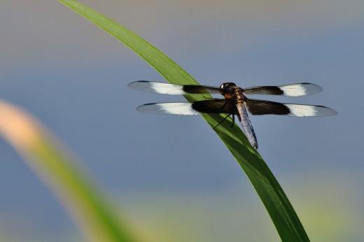 Widow Skimmer (Libellula luctuosa) [m]