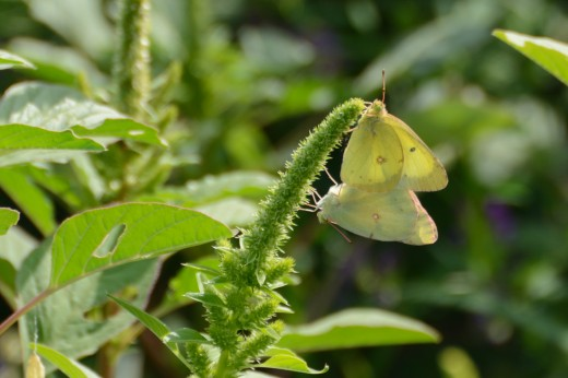 Mating Clouded Sulfurs (Colias philodice)