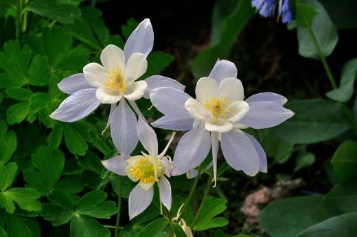 Colorado Columbine (Aquilega caerula)