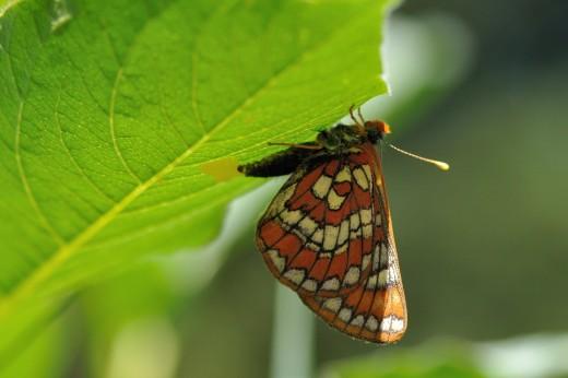 Gillett's Checkerspot (Euphydryas gillettii)