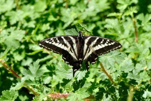 Pale Swallowtail (Papilio eurymedon)