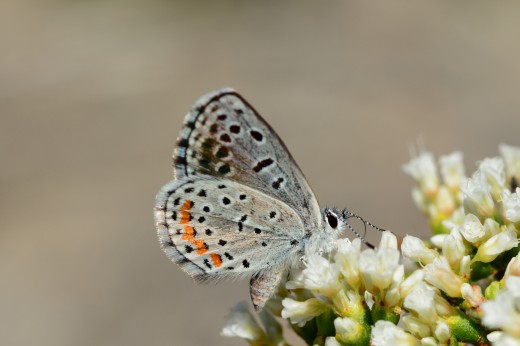 Rita Blue (Euphilotes rita)