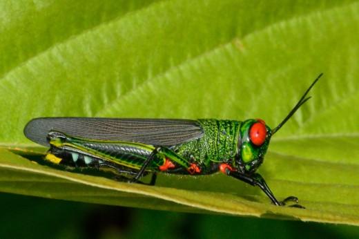 Grasshopper (Coscineuta coxalis)