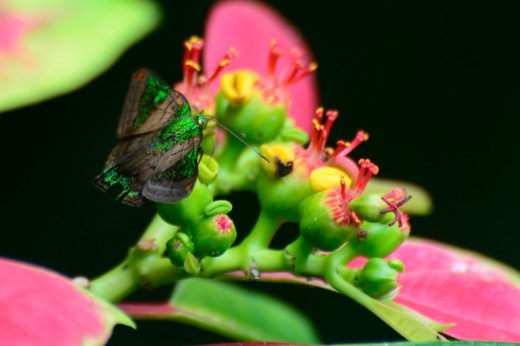 Mantinea Greenmark (Caria mantinea lampeto)