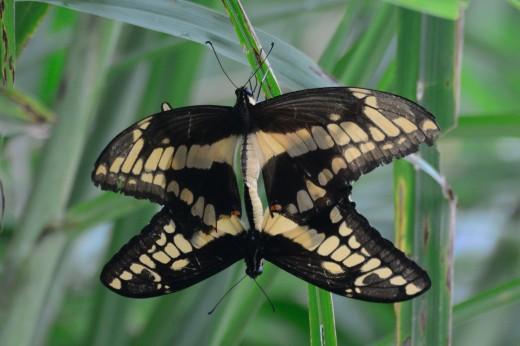 Thoas Swallowtail (Heraclides thoas)
