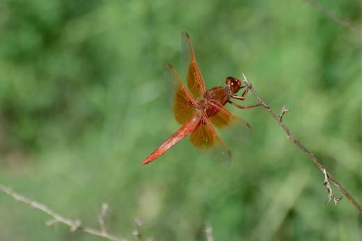 Male Flame Skimmer (Libellula saturata)