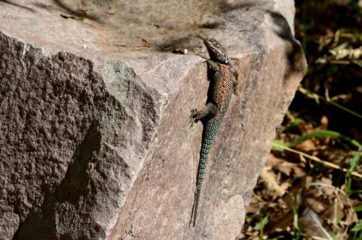 Yarrow's Spiny Lizard (Sceloporus jarrovii)