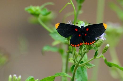 Red-bordered Pixie (Melanis pixe)