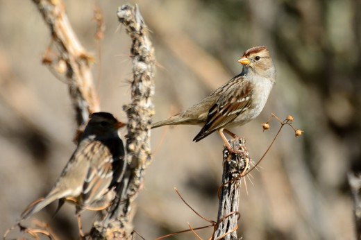 Immature White-crowned Sparrow