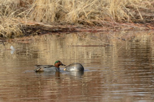 Green-winged Teal (m)