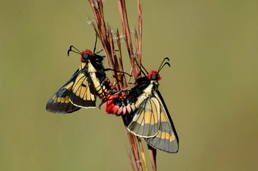 Xanthippe Firetip (Sarbia xanthippe)