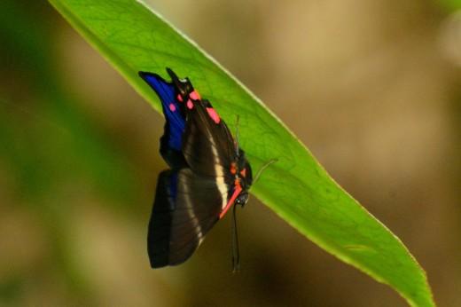 Periander Beautymark (Rhetus periander)