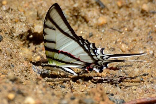 Zebra Kite-Swallowtail (Protesilaus stenodesmus)