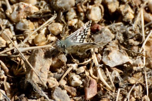 Common Checkered-Skipper (Pyrgus communis)