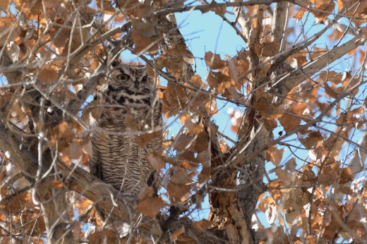 Great Horned Owl (m) - OSVC