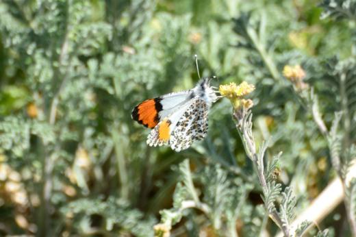 Southwestern Orangetip (m) (Anthocharis thoosa)