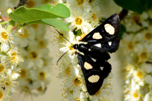 Eight-spotted Forester Moth (Alypia octomaculata)